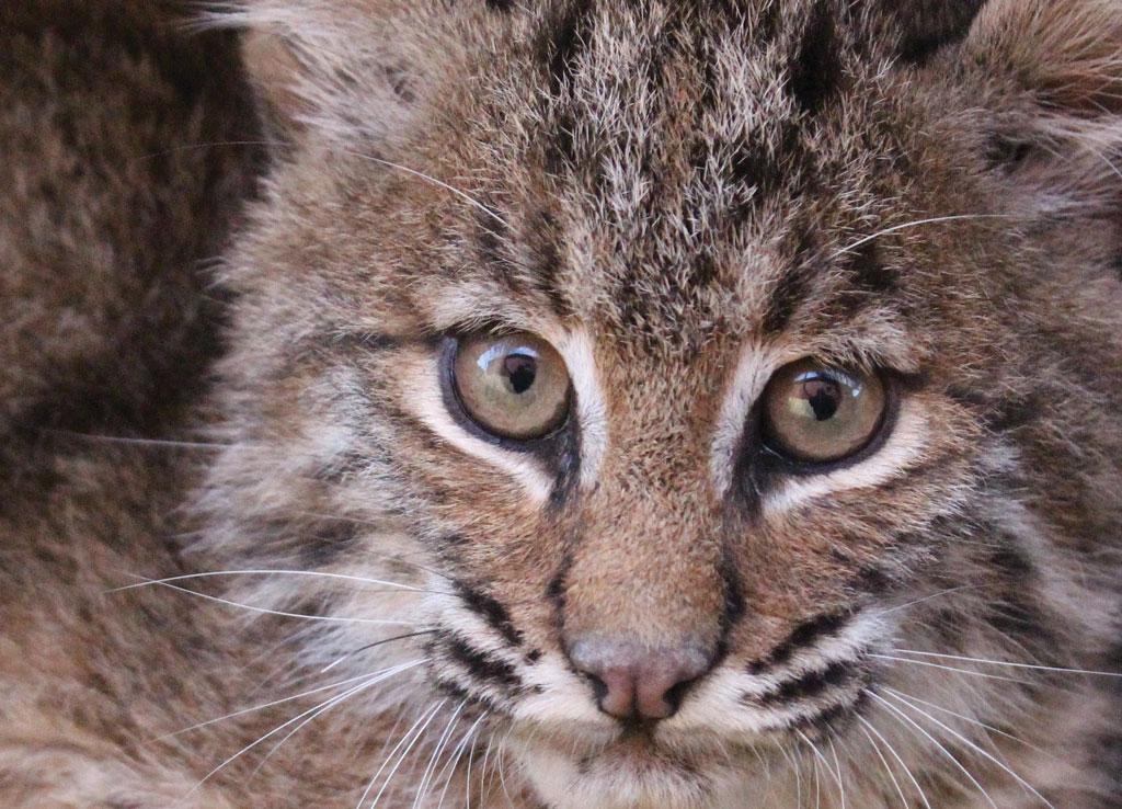 bobcat - photo #24