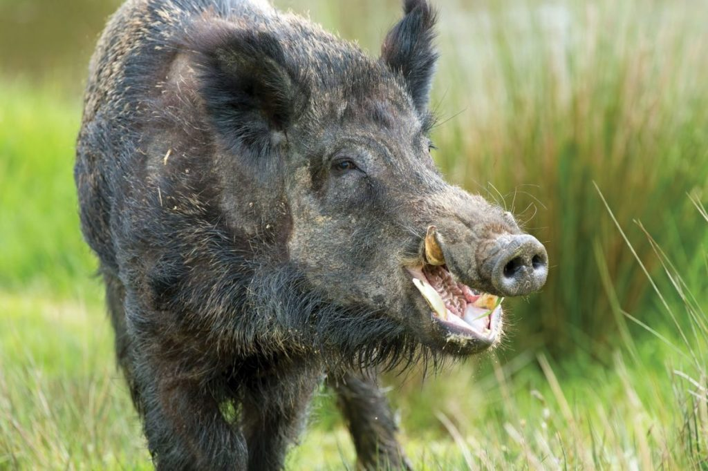 Feral Hog Vs  Warthog - Texas Fish & Game Magazine