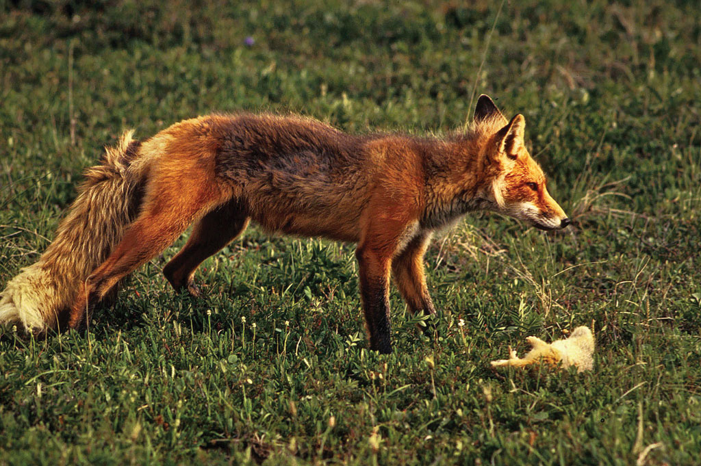 Red foxes and other predators are having a huge impact on pintails due to destruction of natural grasslands.