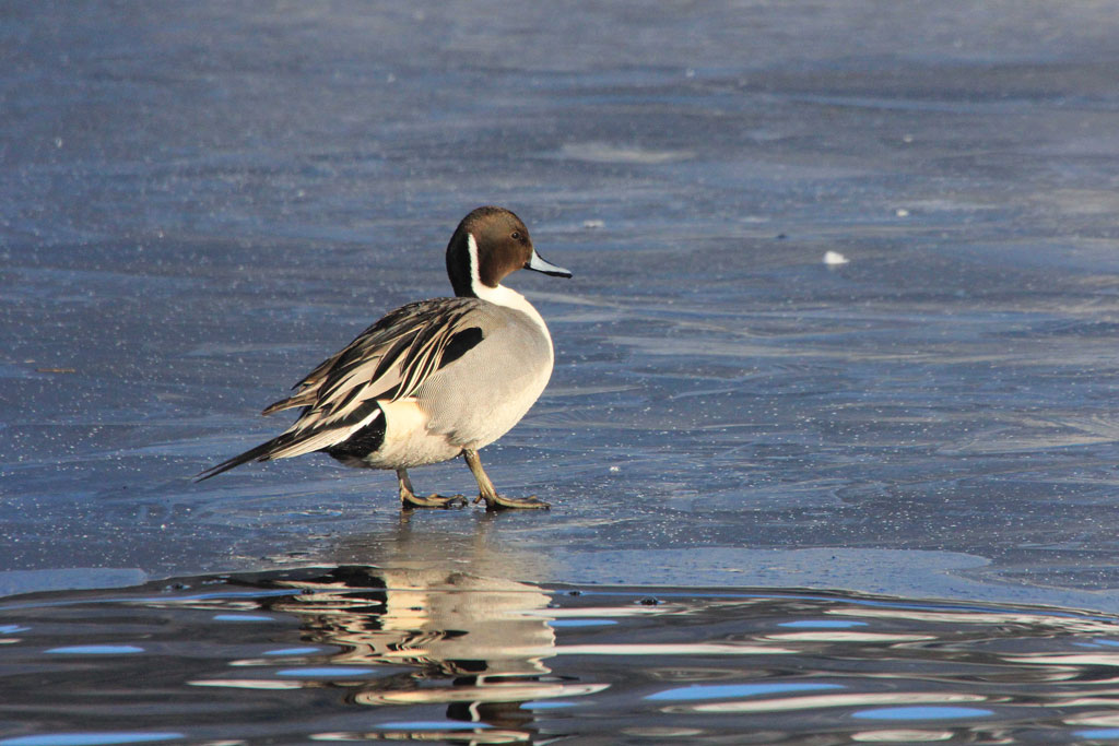The pintail is a duck prized by hunters and it has been the most stressed of all top huntable species.