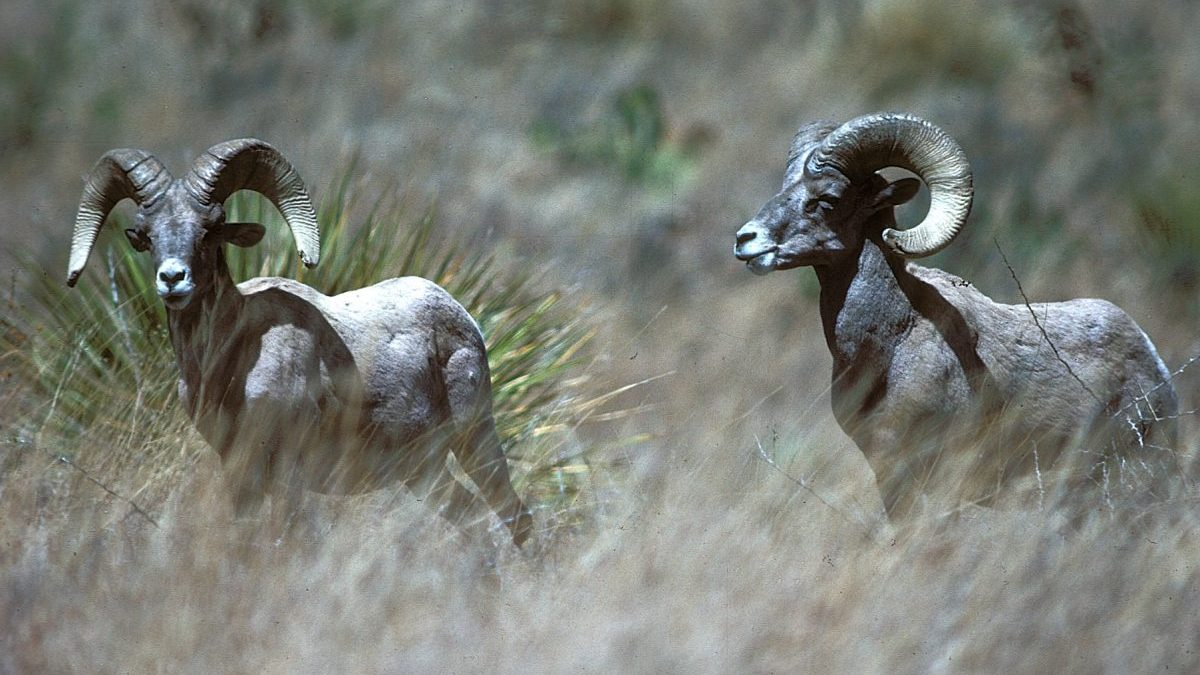 Texas Bighorn Sheep Gets License Plate - Texas Fish & Game ...