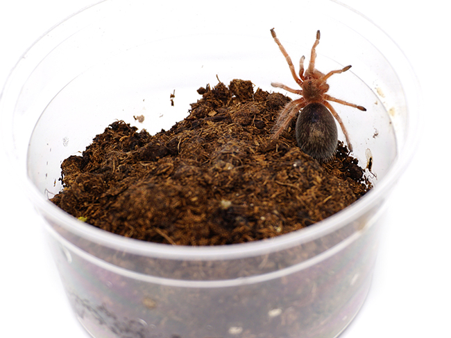 spider-pet
