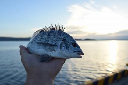 加賀屋前の桟橋でクロダイが釣れた