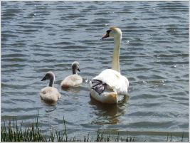 Swan with Cygnets