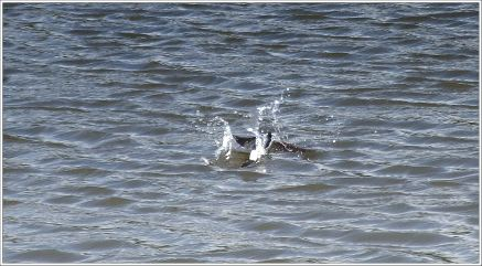 Swallow diving in the Water
