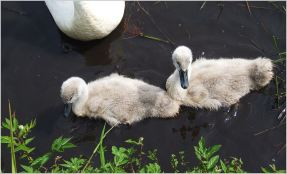 Cygnets starting to show white plumage