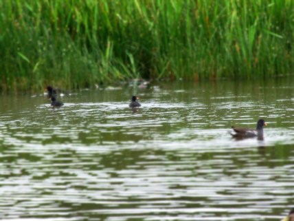 They are close relatives of the moorhen.