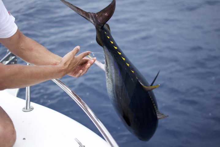 A Bluefin Tuna being released over the side rail of a boat