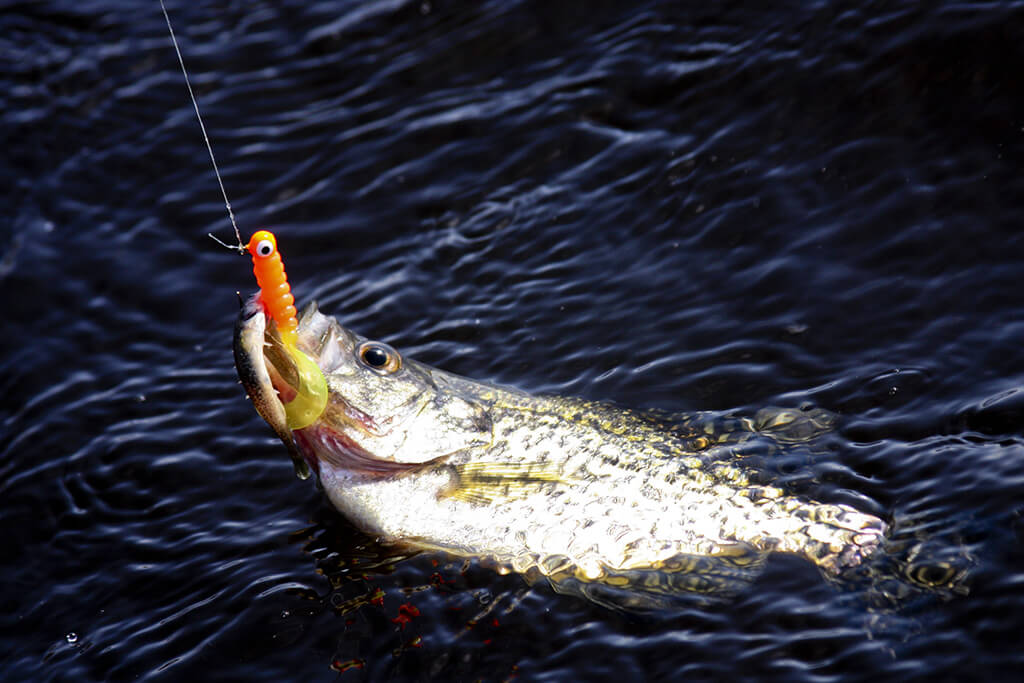 A White Crappie in the water eating a jig, one of the best Crappie baits available