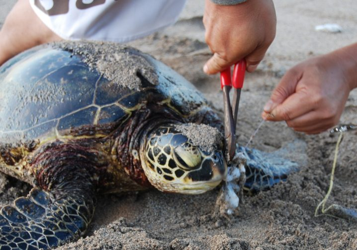 A turtle with ghost fishing line being removed from its mouth with pliers