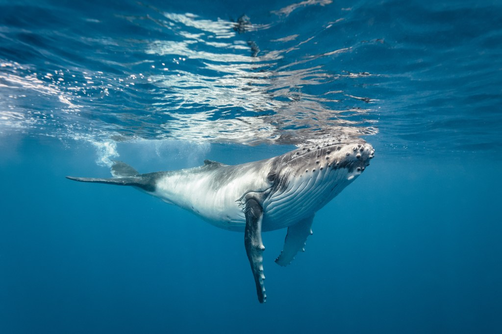 A baby humpback whale