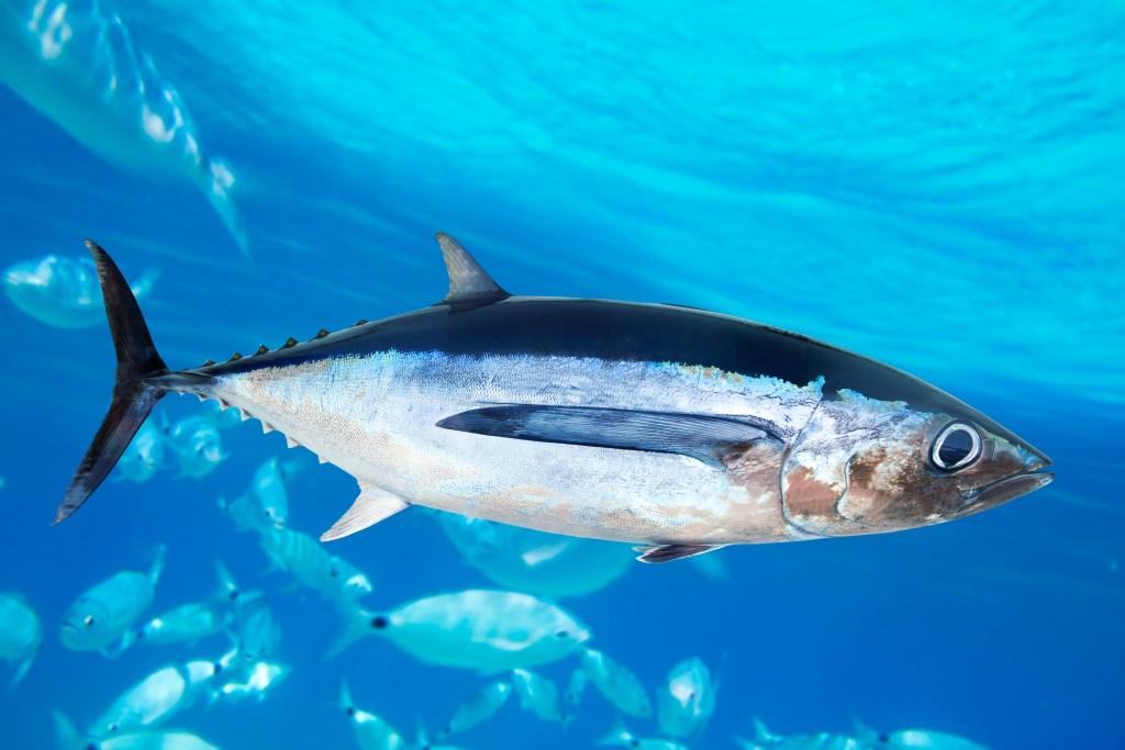 Albacore Tuna swimming around a school of fish