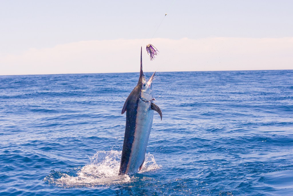 A Blue Marlin jumping out of the water after being hooked by a colorful fishing lure