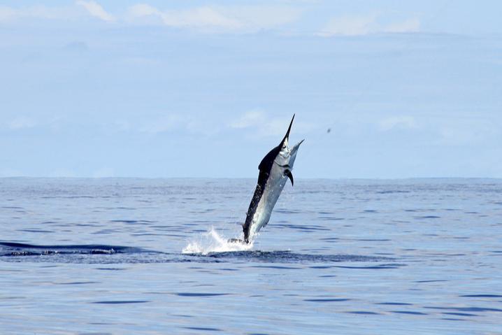 Black Marlin leaping