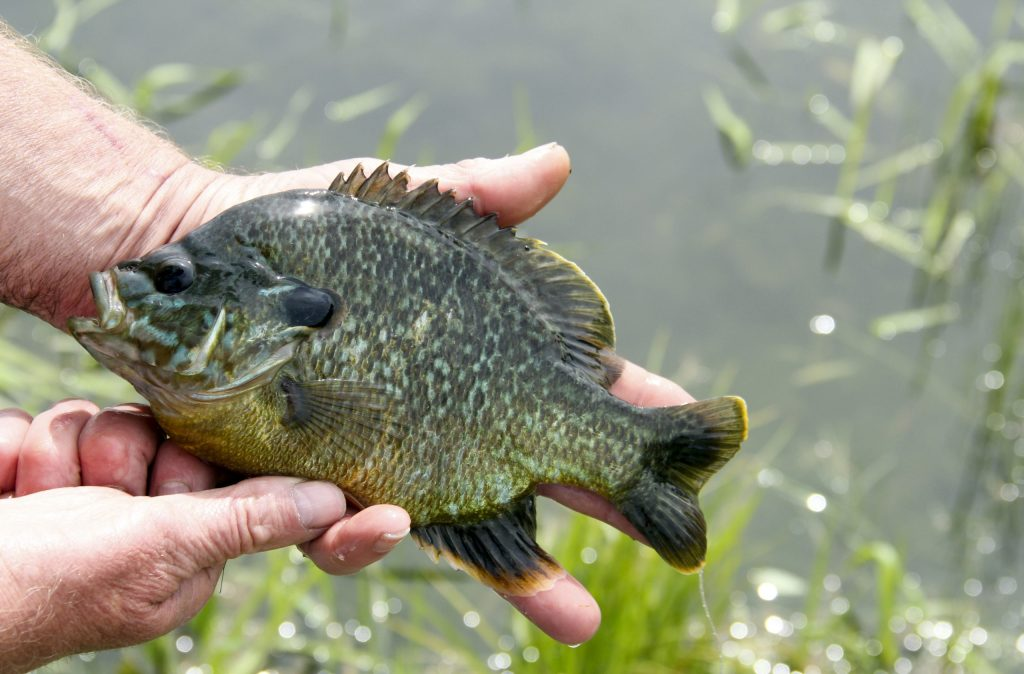 A man holding a Bluegill fish in front of water.