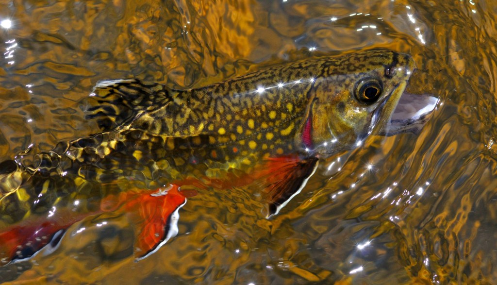a Brook Trout with its head over the surface of the water