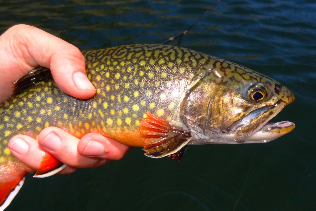 A Brook Trout being held by and angler over a small stream
