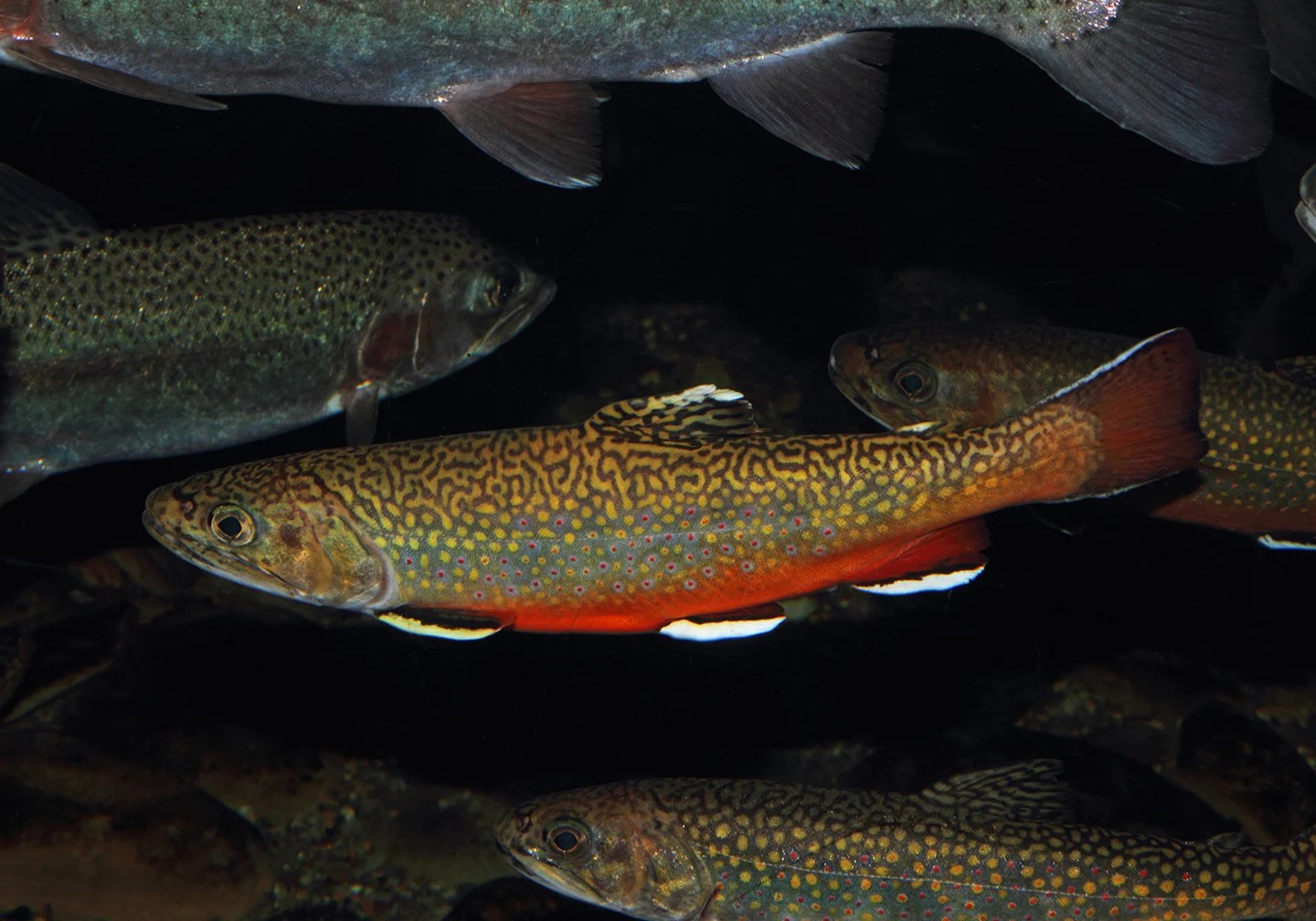 A school of Brook Trout underwater.