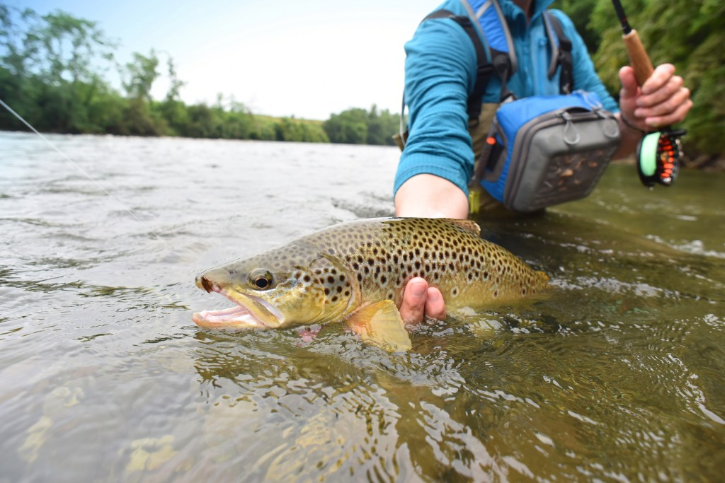 An angler holding a Brown Trout half submerged in the water