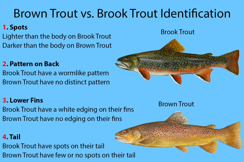 """A graphic explaining how to identify Brook Trout vs. Brown Trout. On the right there is a Brook Trout with a Brown Trout beneath it. On the left, text reads """"1. Spots: Lighter than the body on Brook Trout. Darker than the body on Brown Trout."""" """"2. Pattern on Back: Brook Trout have a wormlike pattern. Brown Trout have no distinct pattern"""" """"3. Lower Fins: Brook Trout have a white edging on their fins. Brown Trout have no edging on their fins."""" """"4. Tail: Brook Trout have spots on their tail. Brown Trout have few or no spots on their tail."""""""
