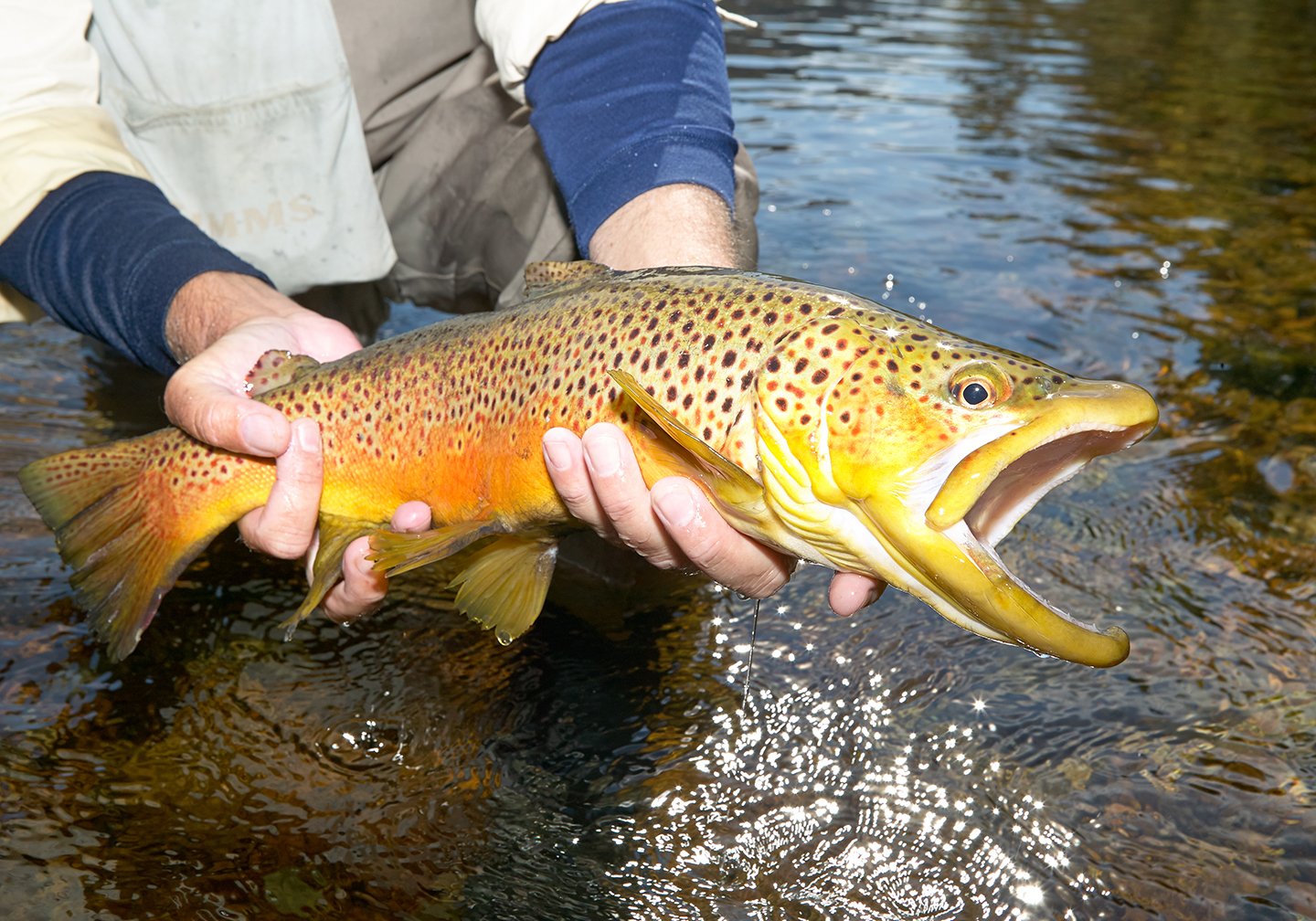 An angler holding a Brown Trout out of the water.
