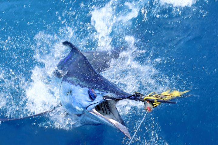 Blue Marlin coming out of the water after being hooked.