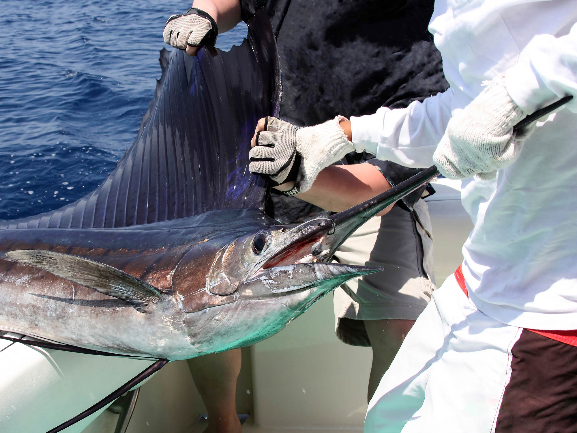 Two fishermen hold a caught sailfish before releasing it from the hook