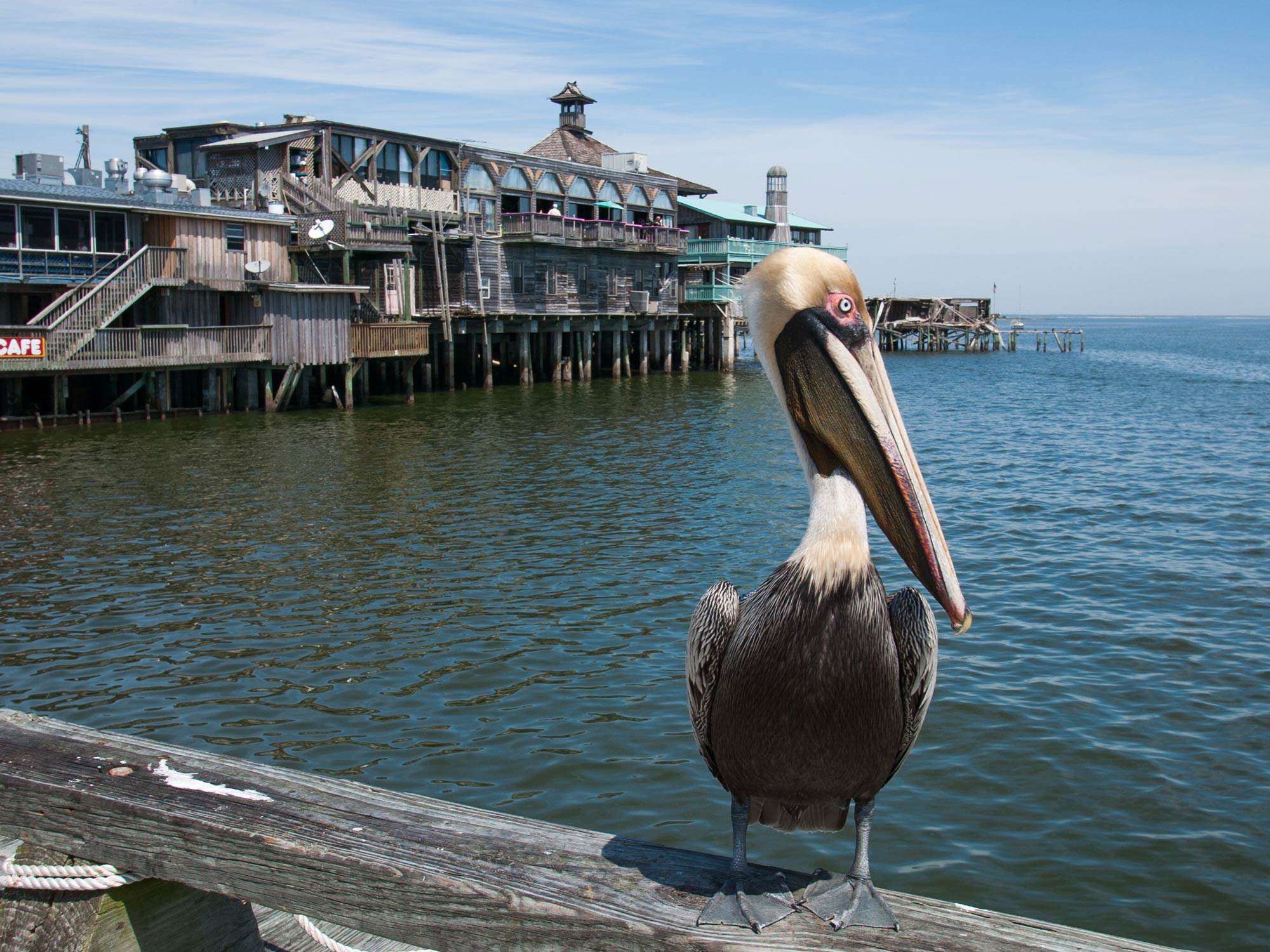 Brown pelican on a fence with the Cedar Key waterfront in the background