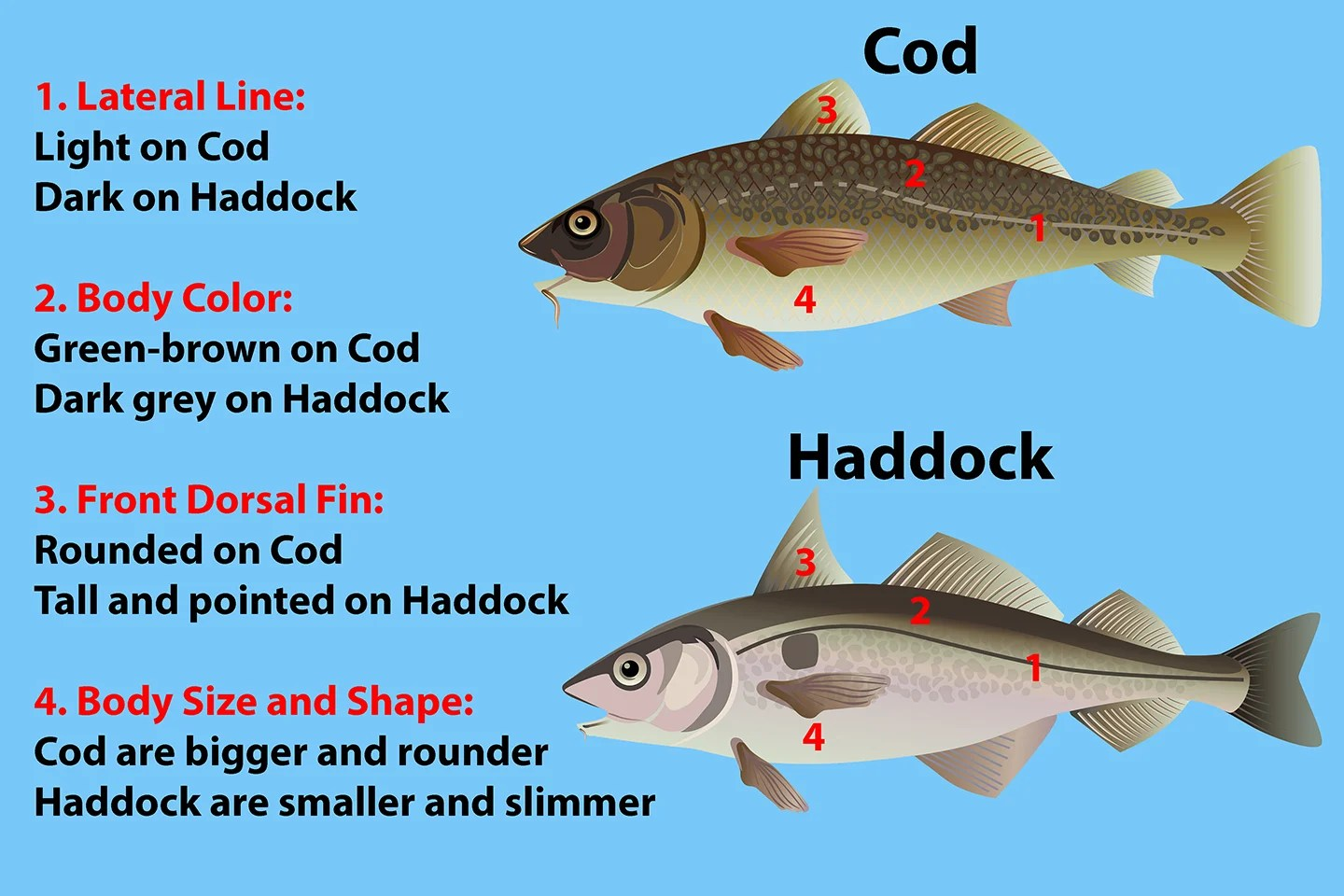 """A comparison of Cod vs Haddock, showing how to tell them apart. Cod is above, Haddock is below. To the left, text reads """"1. Lateral Line: light on Cod, dark on Haddock. 2. Body color: green-brown on Cod, dark grey on Haddock. 3. Front Dorsal Fin: Rounded on Cod, tall and pointed on Haddock. 4. Body Size and Shape"""" Cod are bigger and rounder, Haddock are smaller and slimmer."""""""