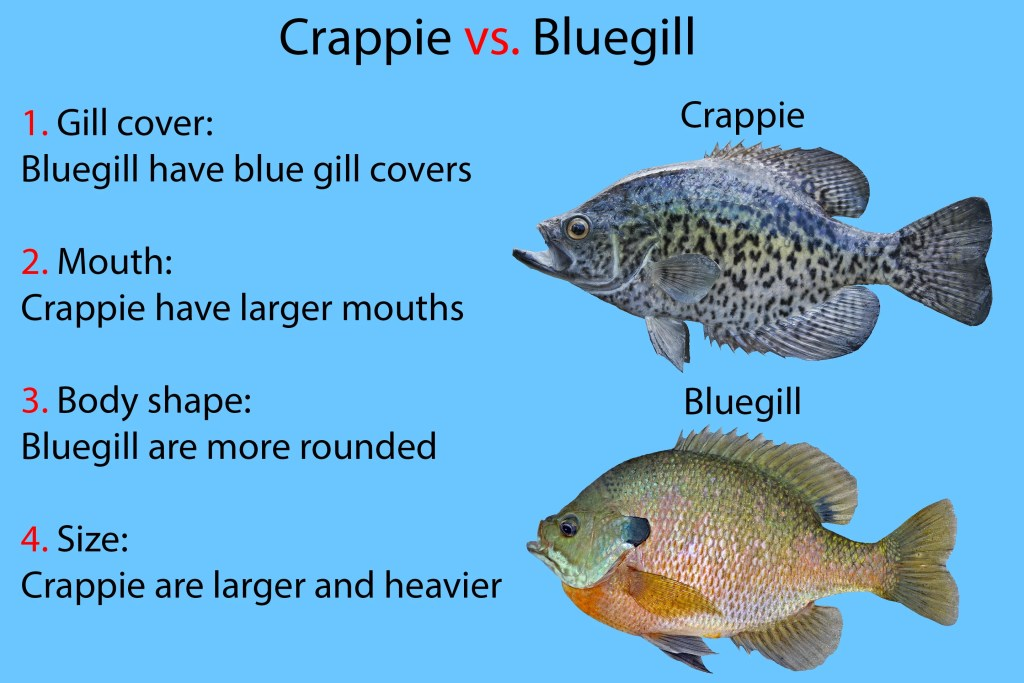 """A diagram showing how to identify Crappie vs Bluegill. The fish are shown on the right, with text on the left reading """"1. Gill cover: Bluegill have blue gill covers. 2. Mouth: Crappie have larger mouths. 3. Body shape: Bluegill are more rounded. 4. Size: Crappie are larger and heavier."""""""