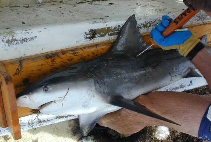 Bull Shark on a boat with a man inserting an archival fish tag