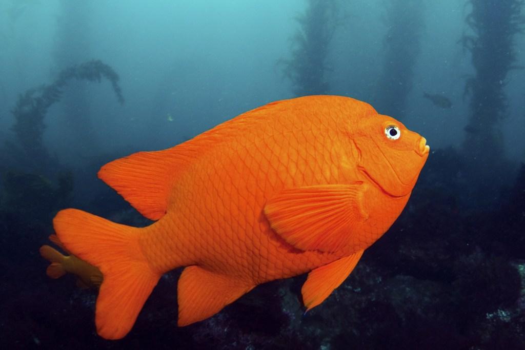 A bright orange Garibaldi fish, one of the state fish of California.