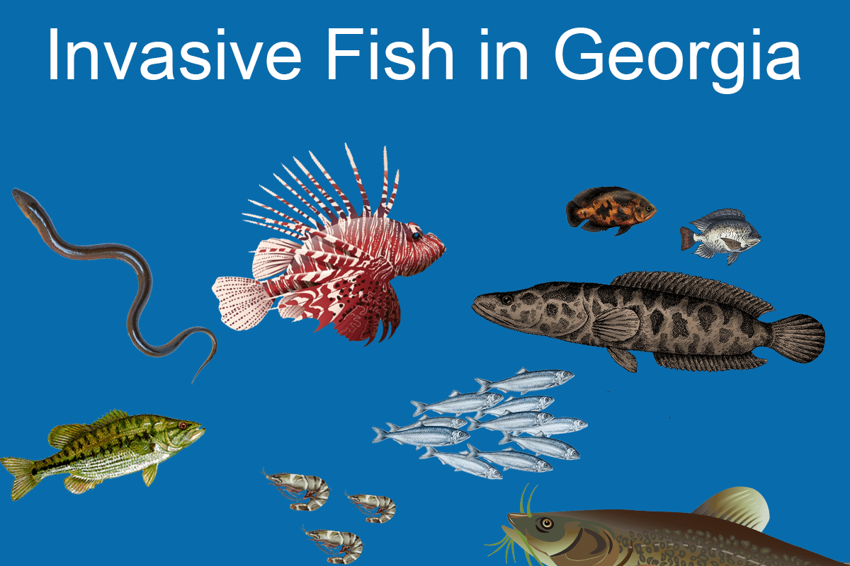 An infographic showing the most common invasive fish in Georgia: Swamp Eels, Lionfish, Oscar, Tilapia, Spotted Bass, Alewife, Snakehead, Tiger Shrimp, and Flathead Catfish