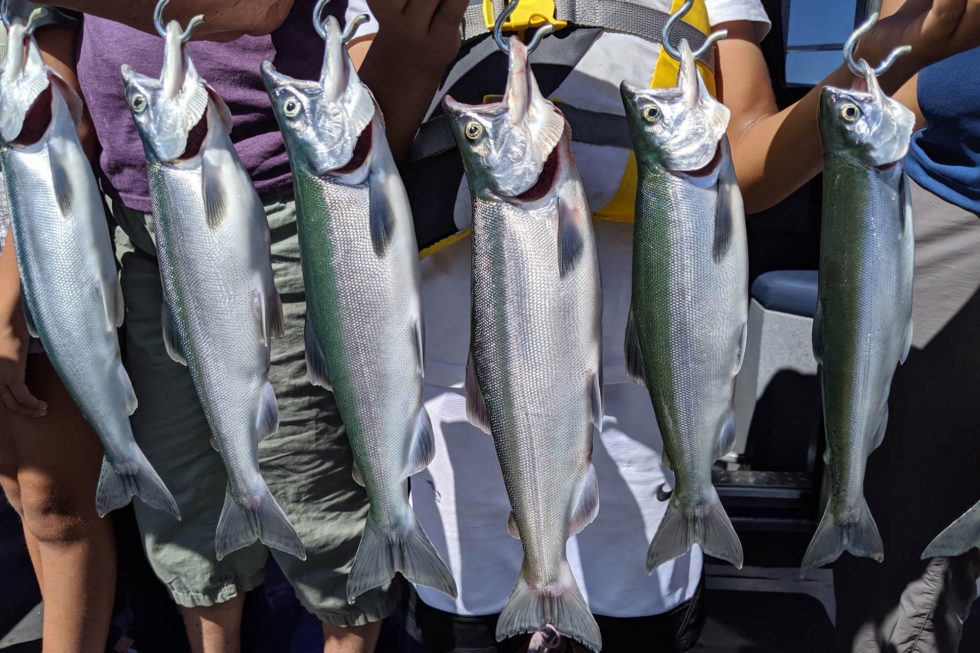 Five caught Kokanee hanging of a board