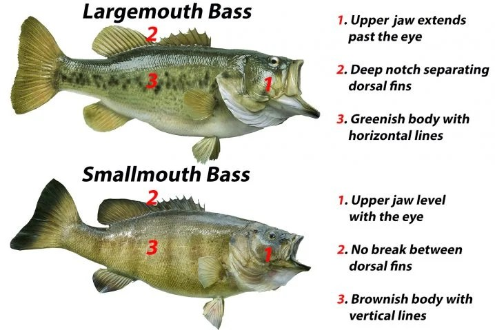 A comparison of smallmouth vs largemouth bass showing how to tell the two species apart. Largemouth Bass have bigger upper jaws, a break between their dorsal fins, and horizontal stripes. Smallmouth Bass have smaller jaws, no break in their dorsal fins, and vertical stripes