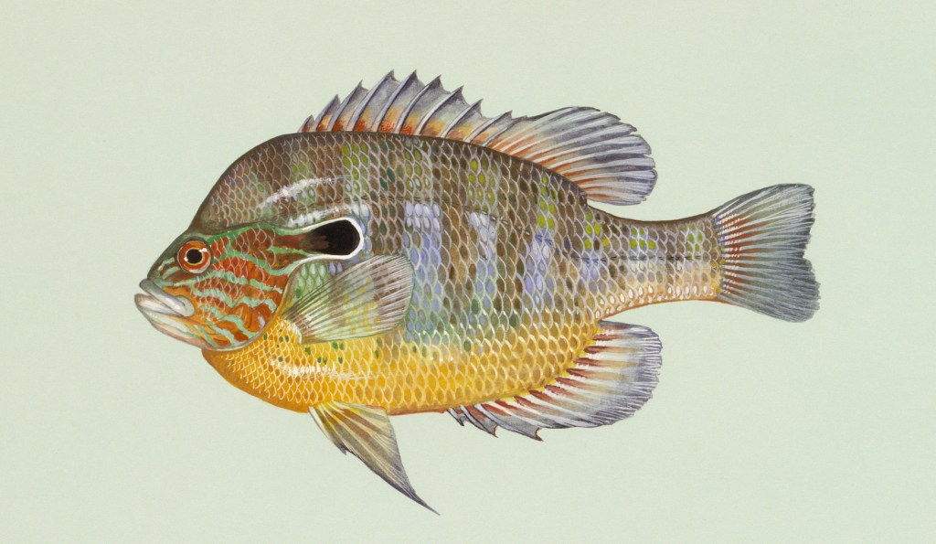 a longear, one of the many types of sunfish