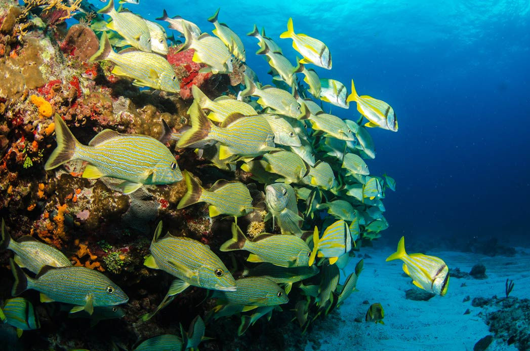 A school of Snapper swims around part of the Mesoamerican Reef