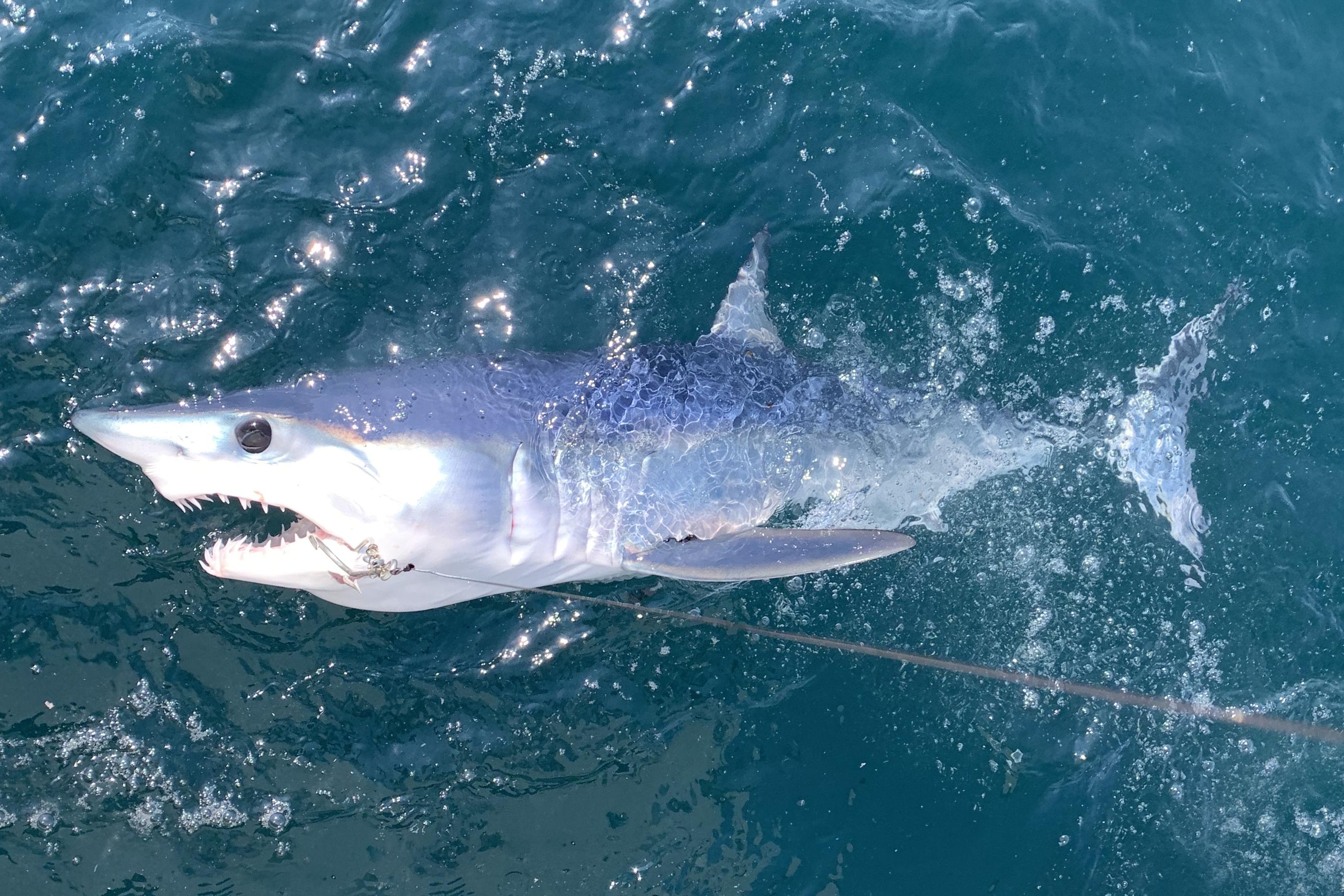 Mako Shark Hook randki pokaż bbc3