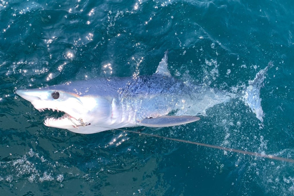 A Mako Shark with a hook in its mouth