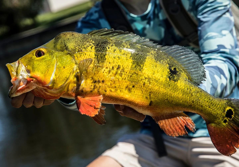 A Peacock Bass, a non-native fish in Florida.