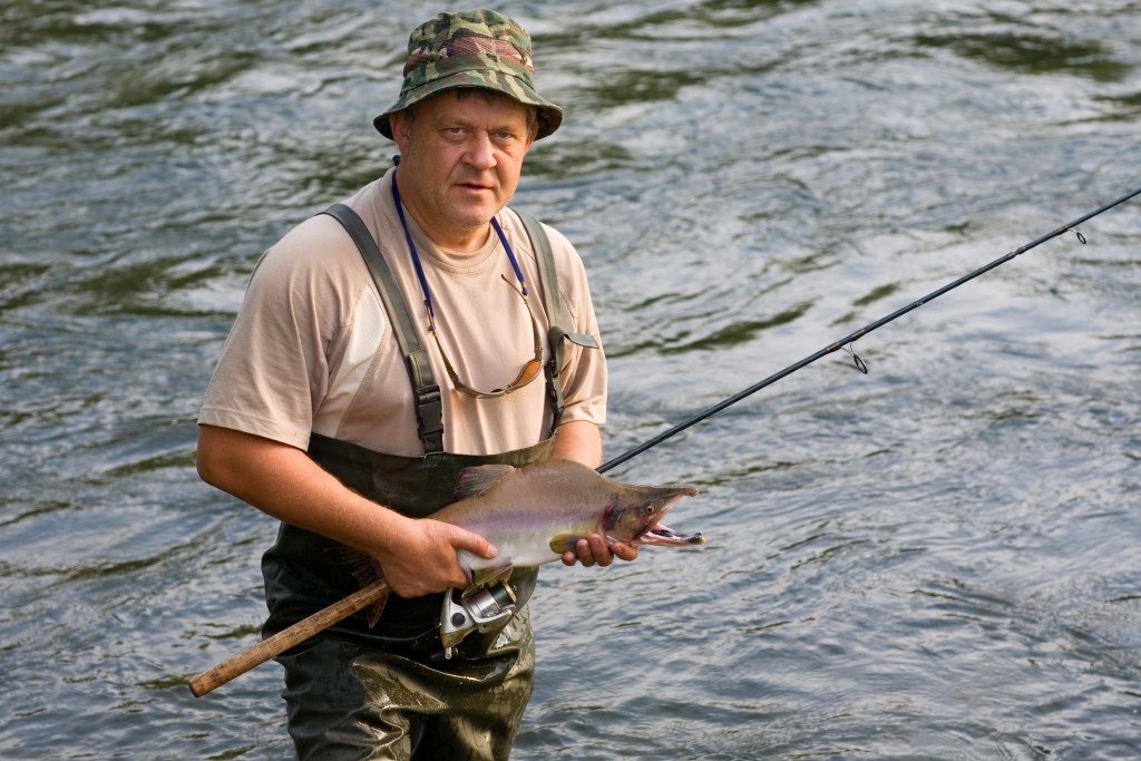 An angler in green waders and a camo hat holding a fly fishing rod and a Pink Salmon. The Salmon is in its spawning form, with a grey back and cream belly, a distinctive humpback, and large nose and mouth.