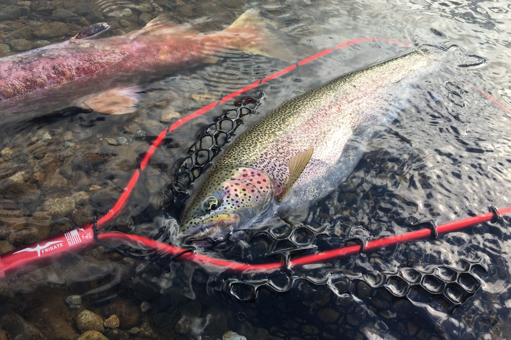A Rainbow Trout held in a net in shallow water after being caught