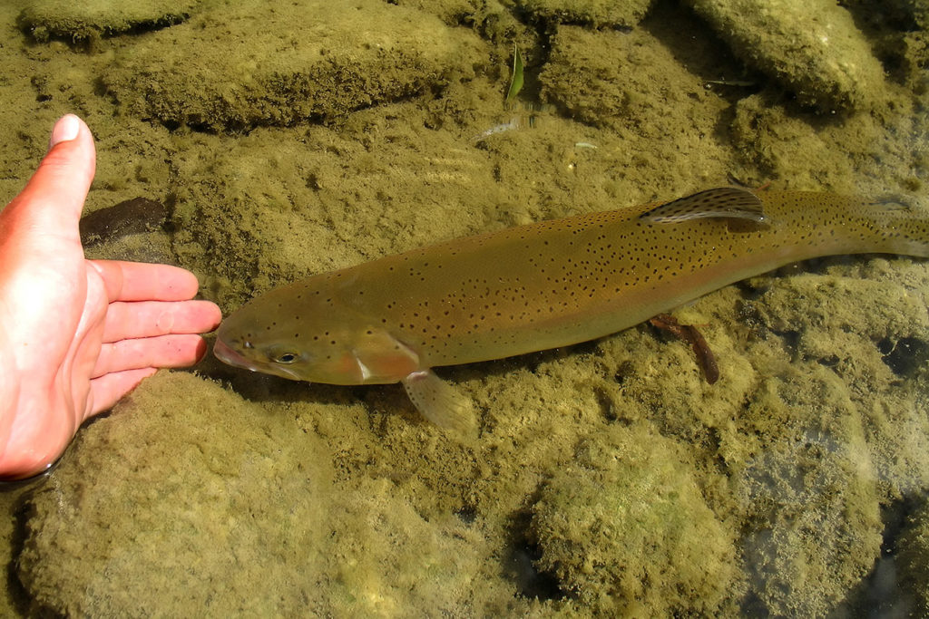 A man placing his hand under a Trout to tickle it