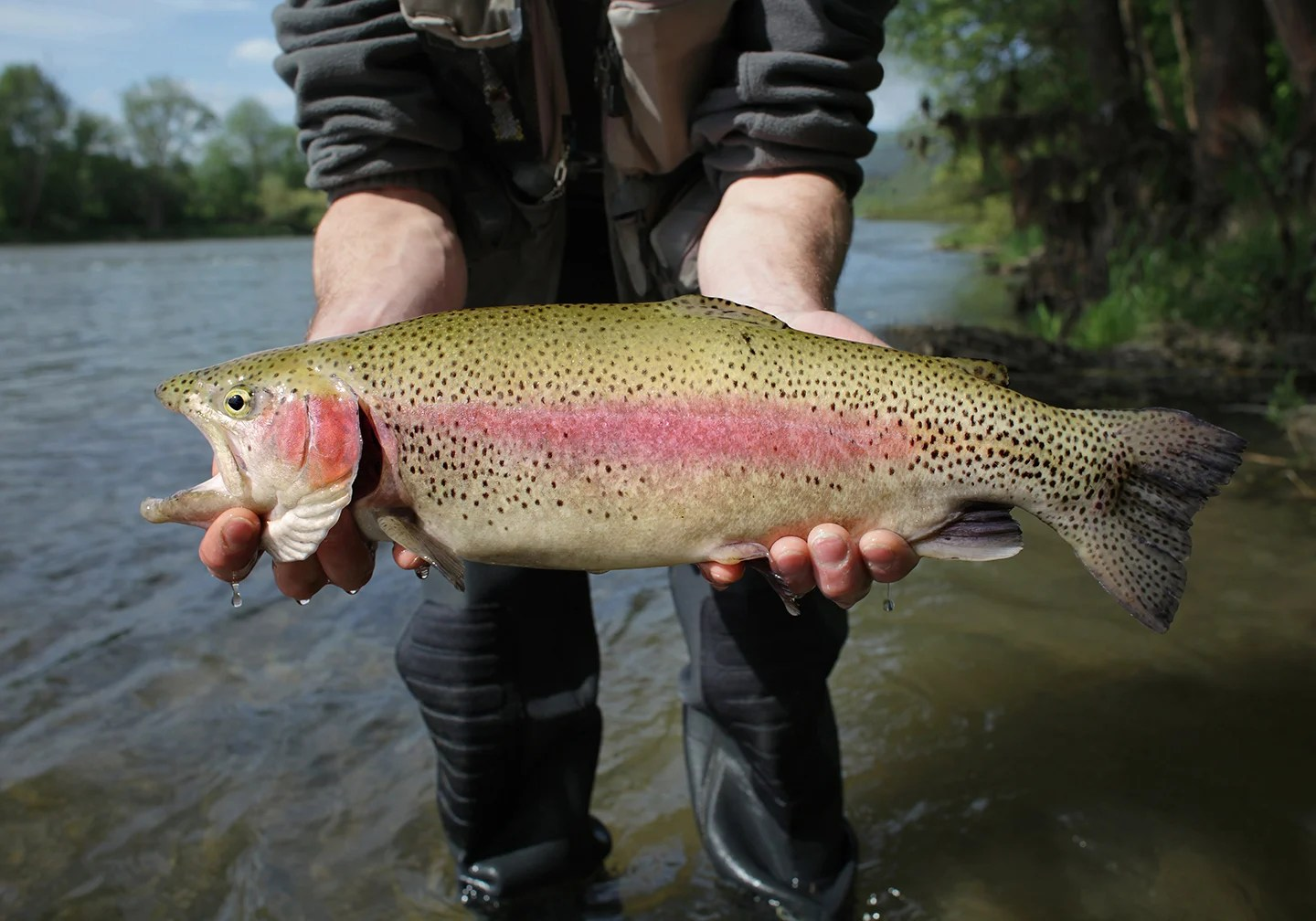A small Rainbow Trout being held above a shallow stream by a fisherman.