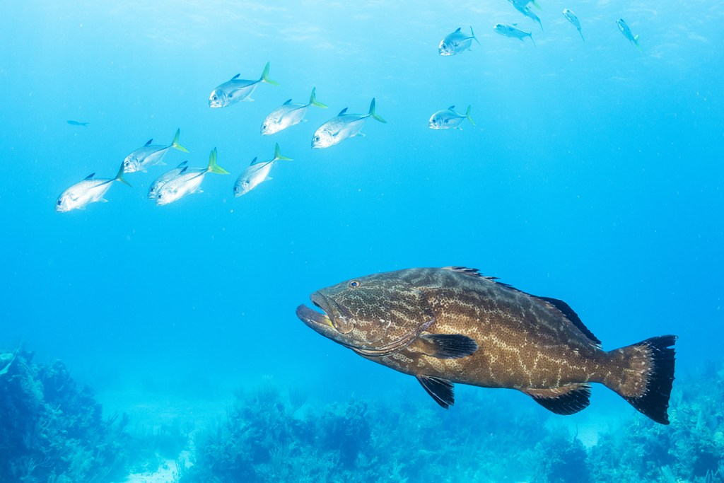 A Nassau Grouper underwater near a reef in the Bahamas