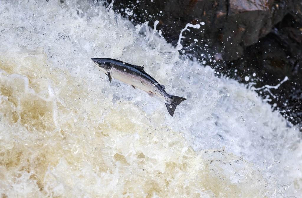 An Atlantic Salmon swimming upstream