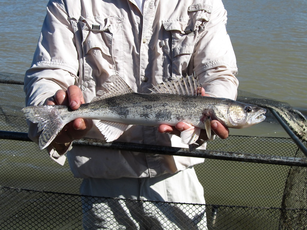 A fisherman holding a Sauger