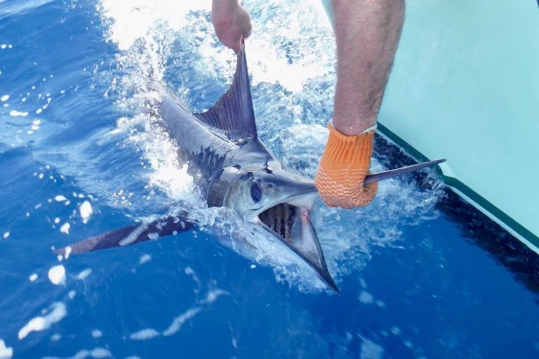 A Striped Marlin being held by the bill and released back into the ocean.