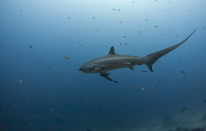 a Thresher Shark on the move
