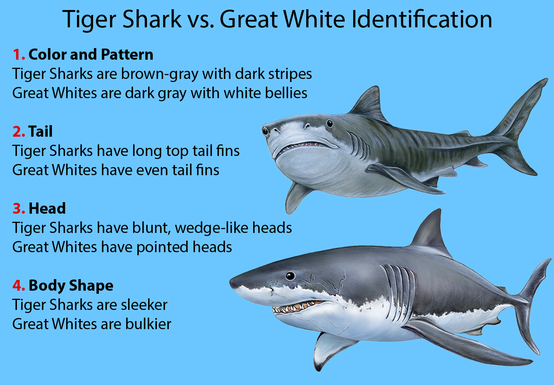 Tiger Shark vs. Great White Identification